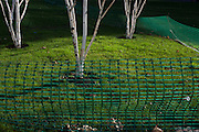 Sapling birch trees on landscaped lawn in Southwark, south London.