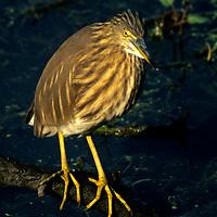 Asia, India, Bharaptur. Indian Pond Heron or Paddybird.