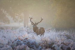© Licensed to London News Pictures. 08/11/2016. London, UK. A stag with huge antlers seen at sunrise among frosted bracken in Richmond Park. Forecasters expect snow to hit parts of the UK today as temperatures dropped to freezing overnight. Photo credit: Rob Pinney/LNP