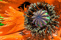 Poppy Profile: A glorious macro view of an orange poppy in profile reveals a rich vibrant interior; with a green ovary supporting a brown style, upon which a detailed purple, star-fish like stigma rests; all surrounded by black stamen, anthers and of course, vibrant orange petals, Minter Gardens, Chilliwack British Columbia Canada.