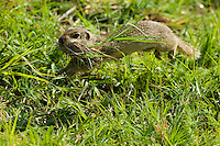 European Ground Squirrel, Spermophilus citellus, with nesting material, Europaeischer Ziesel mit Nestmaterial, near Nikopol, Bulgaria