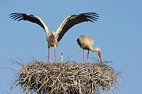 White stork (Ciconia ciconia) adult pair in breeding plumage at nest site. Lithuania, May 2009. Mission: Lithuania
