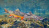 Pair of Spawning Brook Trout<br /> <br /> Patrick Clayton/Engbretson Underwater Photography