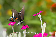 03004-01305 Pipevine Swallowtail butterfly (Battus philenor) on Rose Campion (Lychnis coronaria) Marion Co., IL