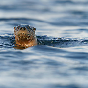 North American river otter (Lontra canadensis) fishing in Island Lake, Duluth, Minnesota.