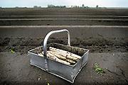Nederland, Horst, 20-4-2008Een bak met asperges op het land, aspergebed. Culinaire lekkernij, seizoensgroente. LandschapFoto: Flip Franssen/Hollandse Hoogte
