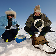 Dr. Steve Amstrup, USGS biologist, and assistant Karyn Rode prepare a radio collar to be fitted to a female polar bear on the Beaufort Sea ice pack. Kaktovik, Alaska
