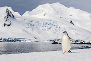 A Chinstrap Penguin (Pygoscelis antarctica) walks along a snow covered shoreline in front of snow covered mountains, Half Moon Island, Antarctica