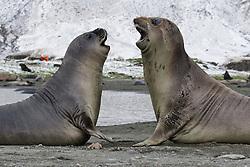 Elephant Seal playing, South Georgia Island