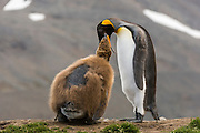 A King Penguin (Aptenodytes patagonicus) feeding its chick, St Andrews Bay, South Georgia Island, South Atlantic Ocean