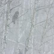 Great gray owl (Strix nebulosa) in a tree. Sax-Zim Bog, Minnesota