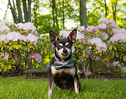 Chihuahua all dressed up for pet portrait session at Arnold Arboretum in Jamaica Plains, Boston