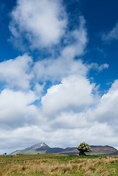 Hawthorn tree and Crough Patrick (Mountain of St. Patrick), County Mayo, Ireland