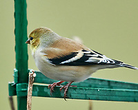 American Goldfinch (Spinus tristis). Image taken with a Nikon D850 camera and 600 mm f/4 VR lens