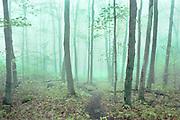 Nebulous Forest<br /> Morning Fog, Giant Mountain, Adirondacks