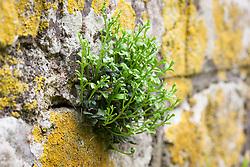 Wall Rue (Spleenwort family) growing in the cracks of a stone wall. Mauerraute, Mauerstreifenfarn. Asplenium ruta-muraria