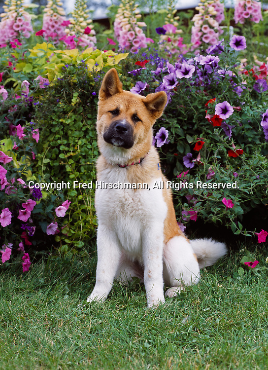 """Akita, AKC, 6-month-old """"Ginger"""" owned by Kathy Boulton of Eagle River, Alaska and photographed in Palmer, Alaska.  (PR)"""