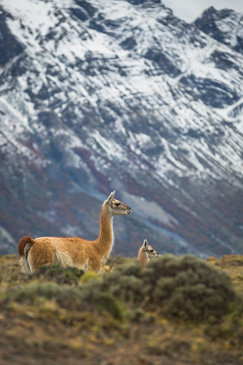 A mother and baby guanaco share a moment of watchfulness under the shadow of the mountains in Chilean Patagonia.