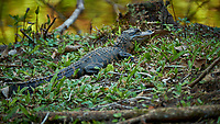 Baby (one-year old) Alligators outside Clyde Butcher's Gallery. Winter Nature in Florida Image taken with a Fuji X-T2 camera and 100-400 mm OIS telephoto zoom lens.
