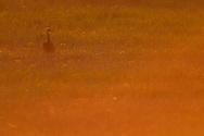 White-naped Crane, Grus vipio, walking in orange morning sunlight Inner Mongolia, China