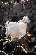 White Goat, San Pedro de Atacama, Atacama desert. Chile, South America