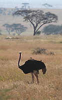 Male Common Ostrich, Struthio camelus, in Serengeti National Park, Tanzania