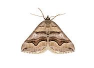70.042 (1730)<br /> Spanish Carpet - Scotopteryx peribolata
