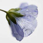 Lin, Flax flowers, Linum usitatissimum in the rain