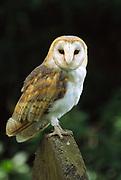 A Barn owl (Tyto alba) perched on a gravestone at the Bird of Prey Centre Bedfordshire