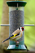 Goldfinch on a birdfeeder loaded with thistle / niger seeds, Cotswolds, England