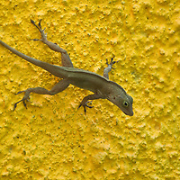 Lizards, like this common anole (Norops polylepis) are seen throughout Costa Rica.  This one is in the Caribbean town of Puerto Viejo de Talamanca, Costa Rica on April 4, 2009.  (Photo/Billy Byrne Drumm)