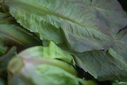 Close up selective focus photograph of some heads of Red Romaine lettuce