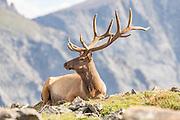 A North American elk along a mountain slope in the Rocky Mountain National Park in Estes Park, Colorado.