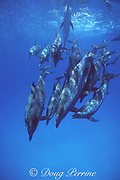 Atlantic spotted dolphins, Stenella frontalis, mature adults, White Sand Ridge, Little Bahama Bank, Bahamas ( Western North Atlantic Ocean )