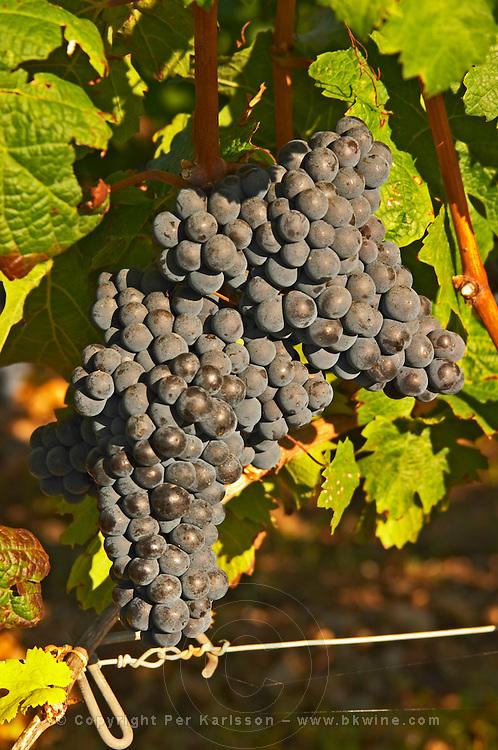 A vine with Ripe Merlot grape bunches on the vine at Chateau Lafleur, Pomerol, Bordeaux