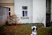 """English Setter """"Rudy"""" schaut am 25.11. 2018 auf eine Fassade in einem Hinterhof in Prag Vinohrady . Rudy wurde Anfang Januar 2017 geboren."""