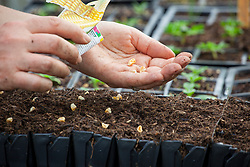 Sowing sweetcorn seeds into module trays