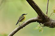 Common Tody Flycatcher, or Black Fronted tody-flycatcher, Todirostrum cinereum, Panama, Central America, Gamboa Reserve, Parque Nacional Soberania, perched in tree