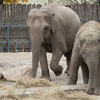Upcoming 3rd birthday of the baby elephant Arun (R) is celebrated with special birthday cake on the birthday of his mother Angele (L) who turns 19 years old today at the Zoo Budapest in Budapest, Hungary on Nov. 5, 2020. ATTILA VOLGYI