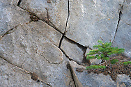 A subalpine fir grows on a bit of accumulated dirt on a cracked rock face in Mount Rainier National Park, WA, USA