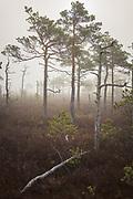 Sparsely growing scots pines (Pinus sylvestris) in cold and foggy morning in raised bog Lielais Ķemeru tīrelis, Kemeri National Park (Ķemeru Nacionālais parks), Latvia Ⓒ Davis Ulands | davisulands.com
