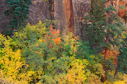 Soft light on fall color and pines against sandstone cliff in Upper Zion Canyon, Zion National Park, Utah