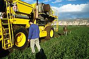 Israel, Jordan Valley, Kibbutz Ashdot Yaacov, Pea picking