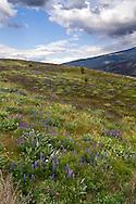 A field of wildflowers in Kekuli Bay Provincial Park near Vernon, British Columbia, Canada