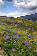 A field of wildflowers in Kekuli Bay Provincial Park near Vernon, British Columbia, Canada