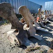 Large vertebrae of the middle portion of the exhumed fin whale (Balaenoptera physalus)