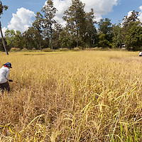 Harvesting rice on the fields belonging to Pare's family.
