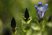 Mountain bog gentian blooms on the trail to Cascade Pass in North Cascades National Park. (Erika Schultz / The Seattle Times)