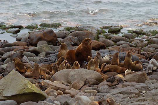 Northern Fur Seal (Callorhinus ursinus) Group of males, females and pups on the shores of St. Paul, Pribilof Islands. Alaska.