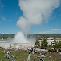 Lodgepole pines (Pinus contorta) survive adjacent to Fountain Geyser at Lower Geyser Basin in Wyoming's Yellowstone National Park.